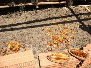 Mogno separado e já retirado parte semente para melhorar o plantio