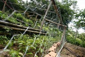Mogno brasileiro com ótimo percentual de germinação