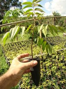 Muda de cedro australiano pronta para o plantio