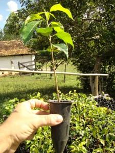 Muda de mogno brasileiro pronta para o plantio