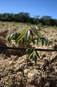 Cedro Australiano - 1 mês de plantio no terreno