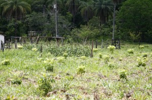 Plantio de Tomate entre as espécies de árvores.