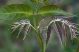 Ponteira (ápice) - cedro australiano